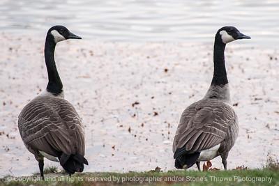 015-geese-ankeny-27oct14-18x12-003-0374
