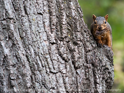 squirrel-ankeny-08oct15-12x09-002-5517