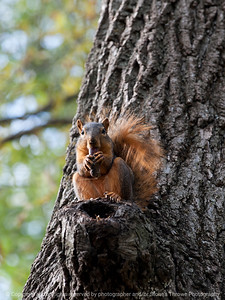 squirrel-ankeny-08oct15-09x12-001-5550