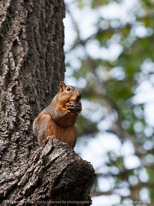 squirrel-ankeny-08oct15-09x12-001-5532