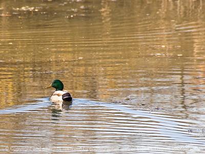 015-bird_duck-rockford_ill-17nov11-002-2058