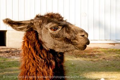015-llama-van_horne-09nov13-5716