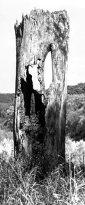 tree_hollow-ledges-01sep15-05x12-207-bw-4845