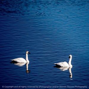 015-swan-wdsm-30jan15-09x09-006-1636