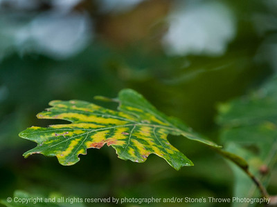 leaf-wdsm-24sep15-12x09-002-5230