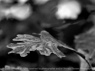 leaf-wdsm-24sep15-12x09-002-bw-5230