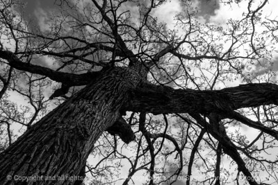 015-tree-wdsm-27apr17-18x12-003-bw-8749