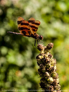 015-insect_dragonfly-wdsm-30aug14-001-9175