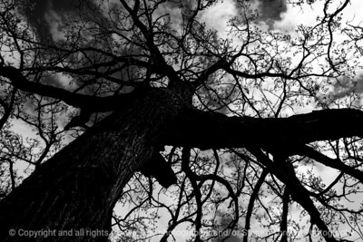 015-tree-wdsm-27apr17-18x12-223-bw-8749