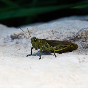015-grasshopper-wdsm-16oct18-03x03-006-500-8372