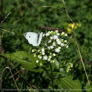 015-butterfly-wdsm-10sep16-12x12-006-5499