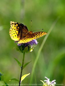 015-butterfly-wdsm-25jun12-001-6967