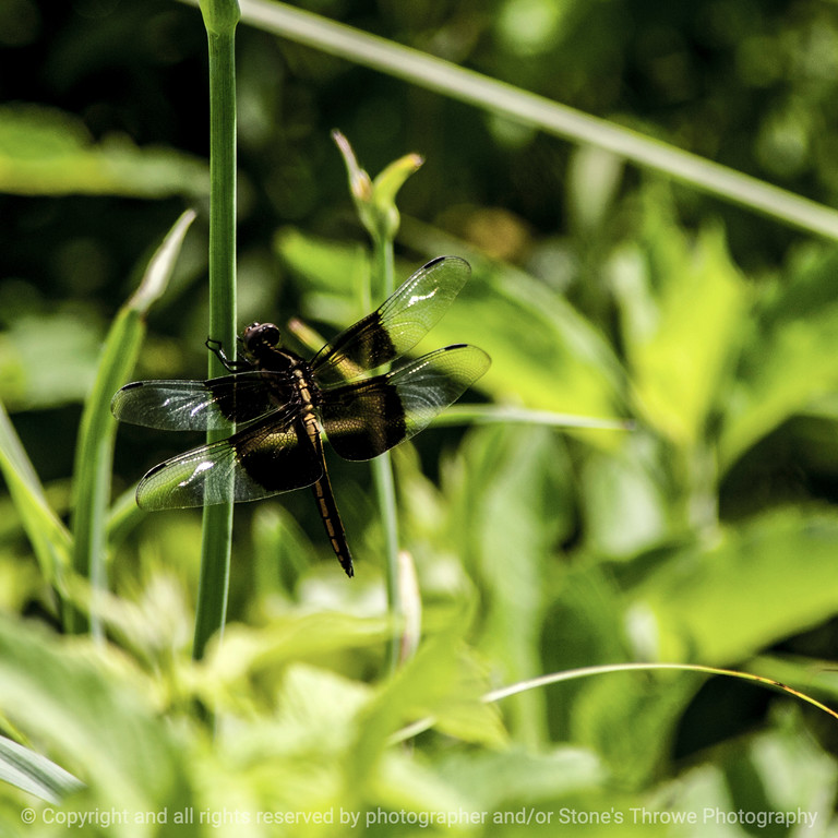 015-insect_dragonfly-wdsm-22jun14-016-8484