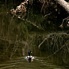 015-bird_duck-wdsm-04apr12-001-0064