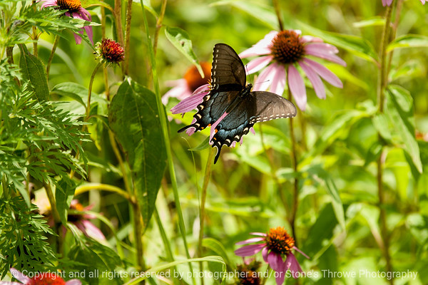 015-butterfly-wdsm-01aug14-003-8931