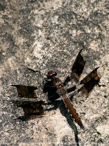 015-dragonfly-wdsm-29jun13-1761
