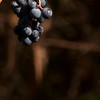 015-grapes-wdsm-28oct13-5501