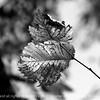 015-leaf-wdsm-27sep12-003-bw-8417