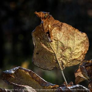 leaf-wdsm-09nov15-09x09-006-5837
