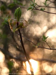 015-leaf_shellbark_hickory-wdsm-10may13-0222