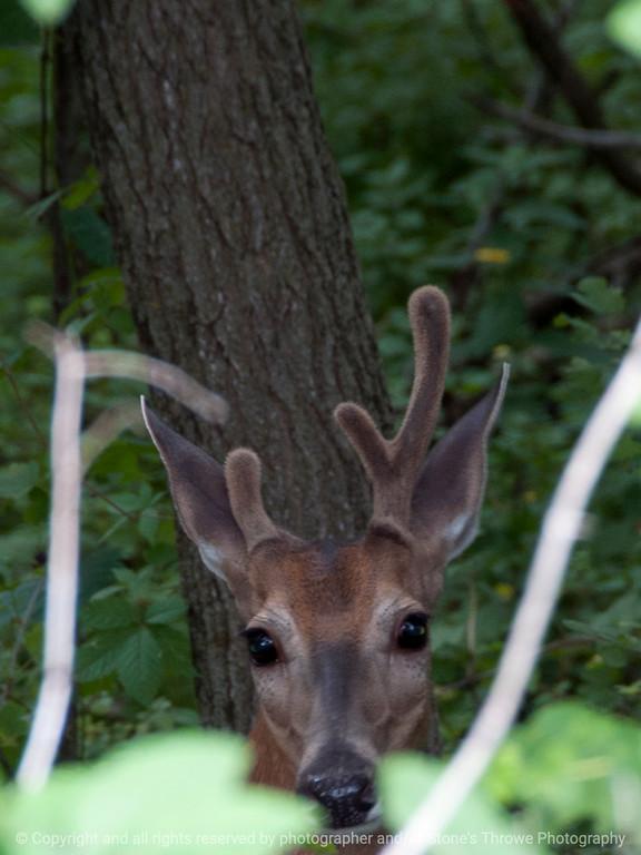 015-deer-wdsm-01aug13-3187