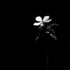 015-flower-wdsm-11apr12-001-bw-4987