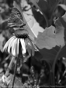 015-butterfly-wdsm-12jul13-001-bw-2090