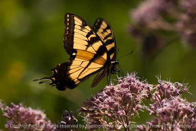 015-butterfly-wdsm-26jul13-0701