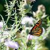 butterfly-wdsm-12sep15-09x12-001-5046