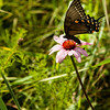 015-butterfly-wdsm-01aug14-001-8946
