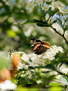 015-butterfly-wdsm-01may12-5492
