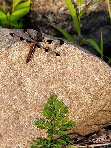 015-insect_dragonfly-wdsm-26may12-3608