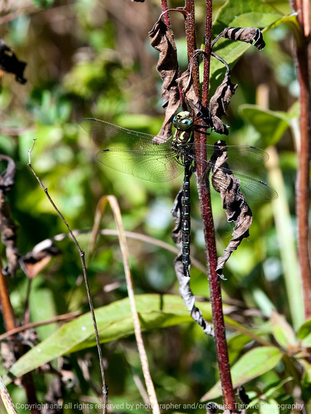 015-insect_dragonfly-wdsm-23sep12-001-8384