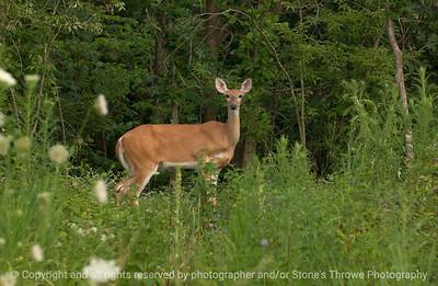 015-deer-wdsm-16jul07-0449