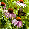 015-butterfly-wdsm-01aug14-006-8927