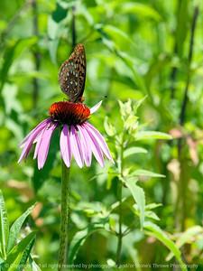 015-butterfly-wdsm-17jun12-001-6818