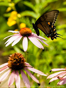 015-butterfly-wdsm-01aug14-001-8935