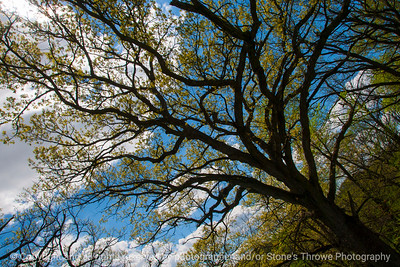 015-tree-wdsm-03may16-18x12-003-8446