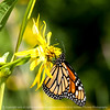 butterfly-wdsm-13aug15-09x09-006-4216