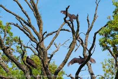 015-bird_turkey_vulture-wdsm-09may17-18x12-004-2857