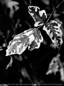 015-leaf_autumn-wdsm-23oct12-001-bw-8895