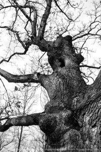 015-tree-wdsm-29feb16-12x18-003-bw-6848