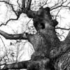 015-tree-wdsm-29feb16-12x18-003-bw-6848