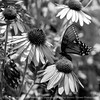 015-butterfly-wdsm-01aug14-006-bw-8927