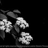 015-flower_blossoms-wdsm-26may10-bw-3178