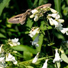 015-insect_moth-wdsm-21may12-6170