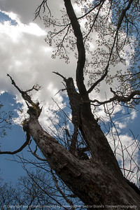 015-tree-wdsm-03may16-12x18-004-8419