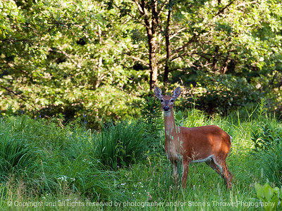 015-deer-wdsm-29jun10-lcvr-5810