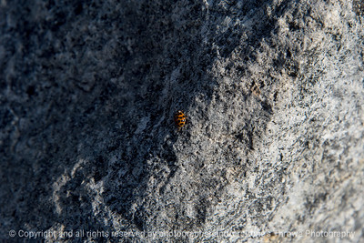 015-insect_asian_lady_beetle-wdsm-23nov17-12x08-007-2735