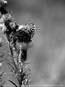 015-butterfly-wdsm-09sep12-001-bw-8001